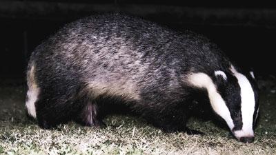 baddger